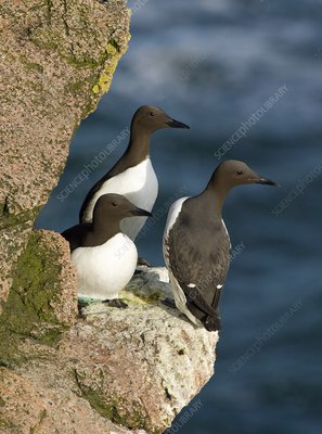 Common guillemots breeding