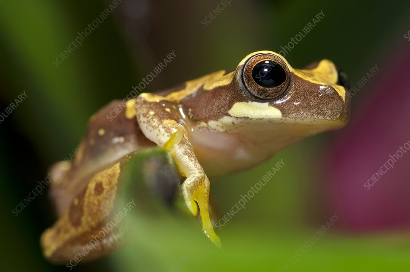 Hourglass treefrog on a leaf