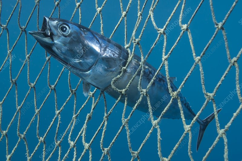 Bullet tuna in a fishing net