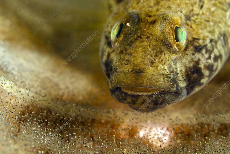 Black goby protecting its eggs