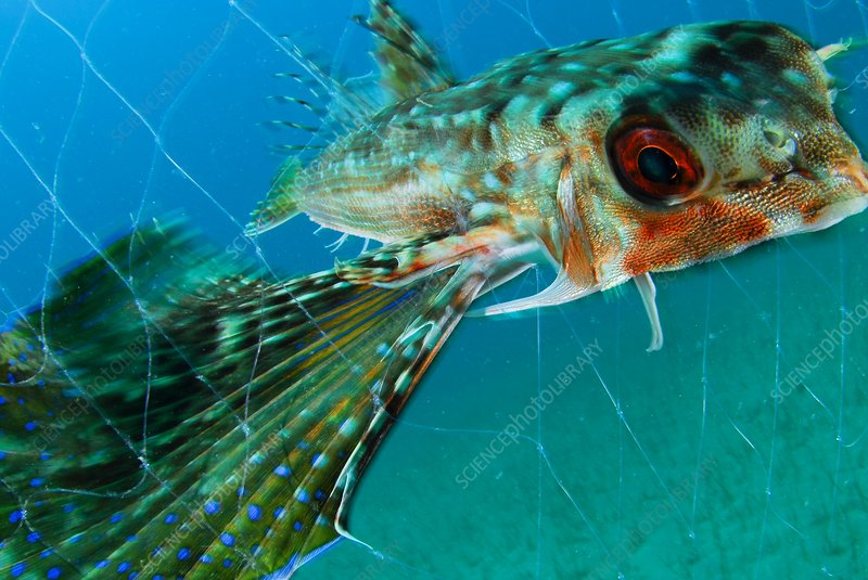 Flying gurnard in a fishing net