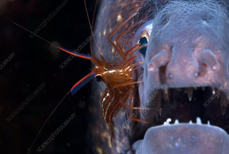 Cleaner shrimp and moray eel