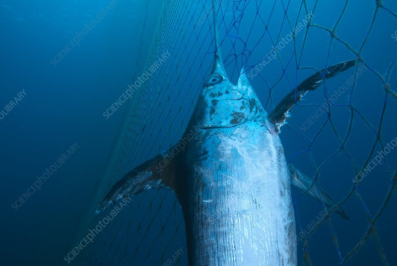 Swordfish in a fishing net