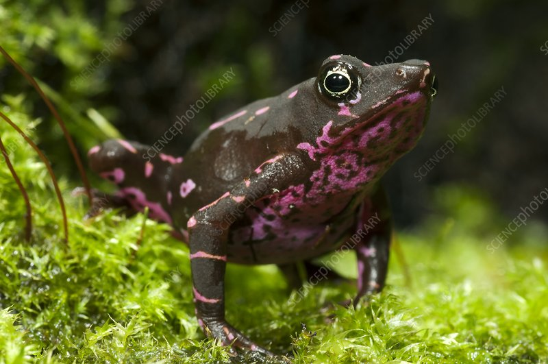 Poisonous toad
