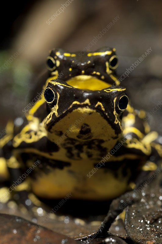 Harlequin toads mating