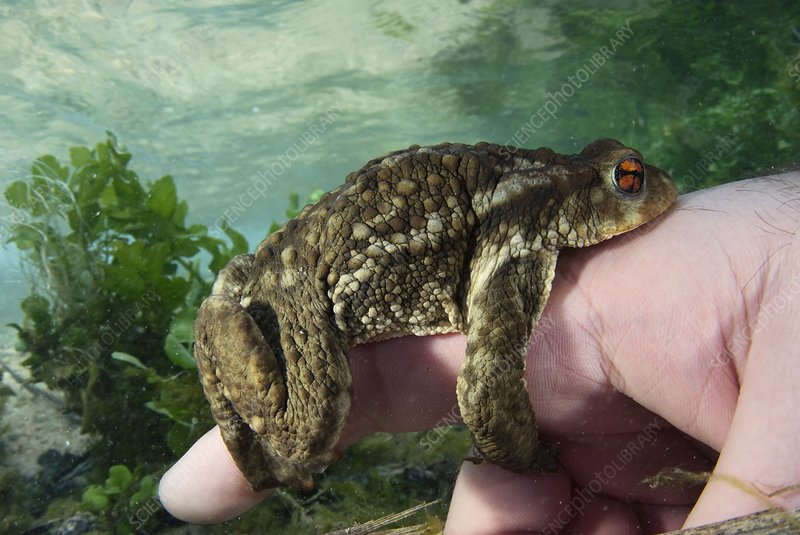 Common toad grasping a finger