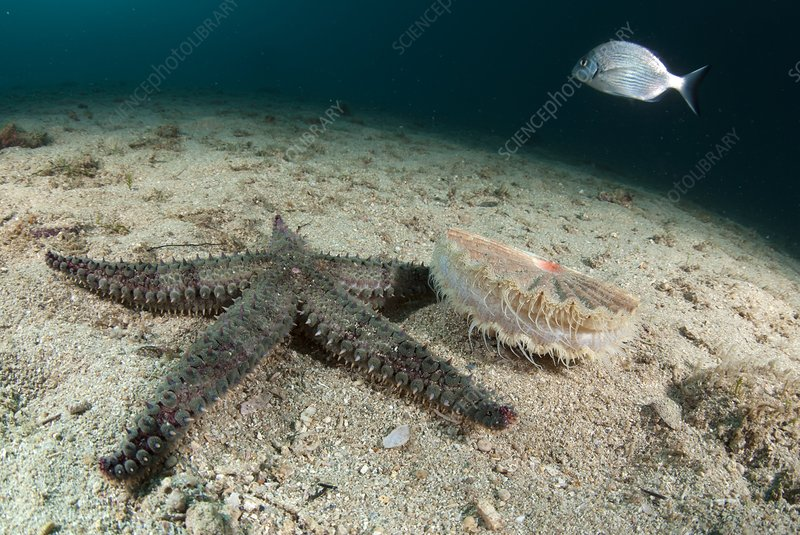 Starfish hunting a scallop