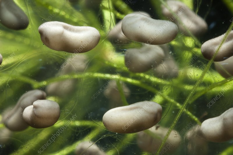 Developing frog's eggs