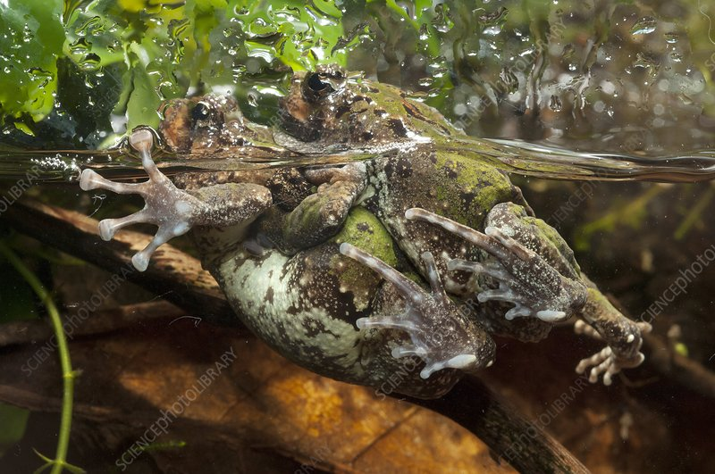 Malagasy burrowing frogs mating