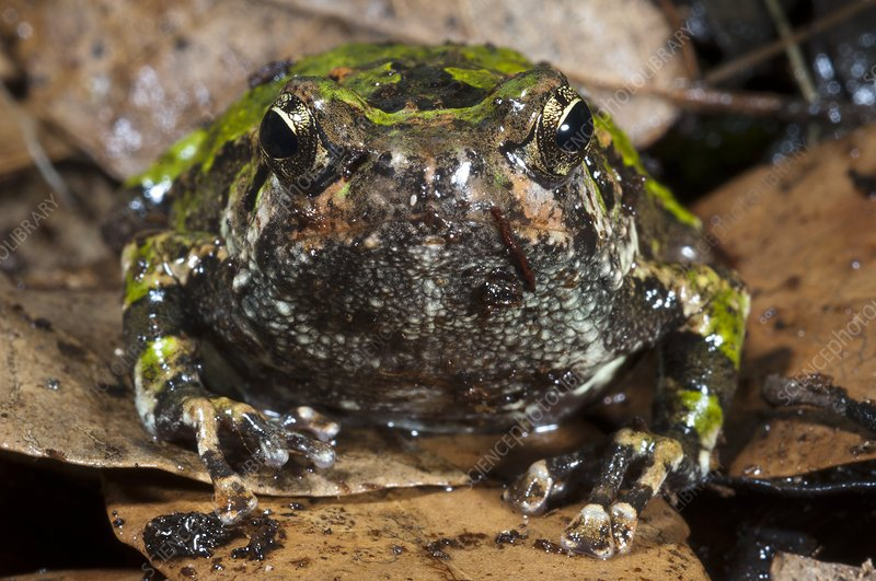 Malagasy burrowing frog