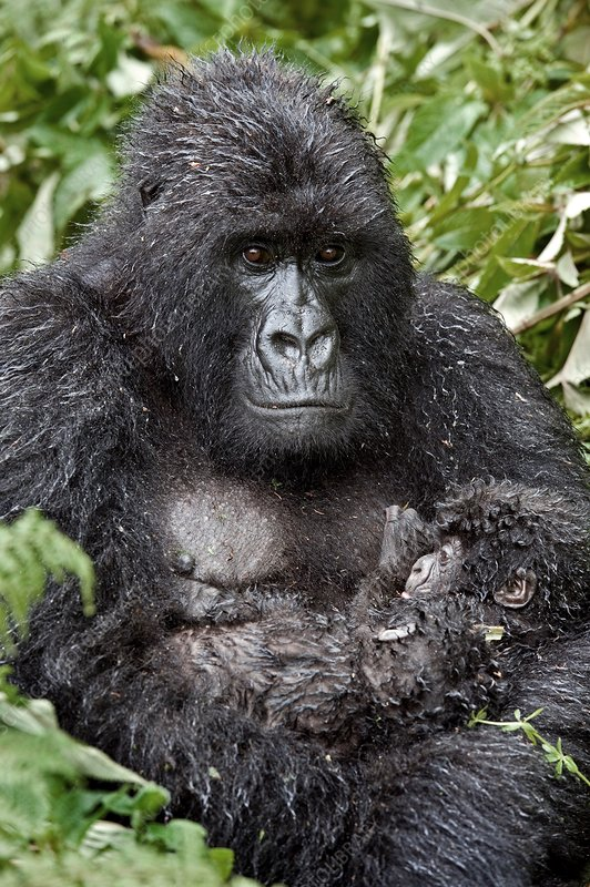 Mountain gorilla and infant