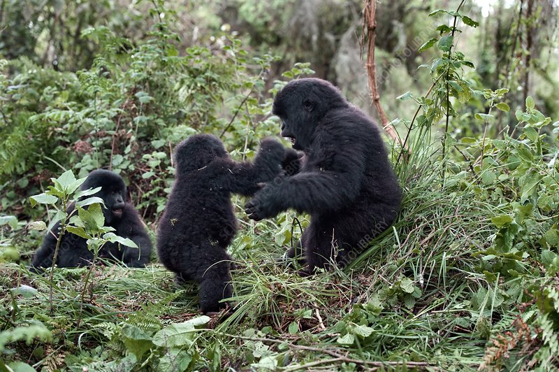 Mountain gorilla family group