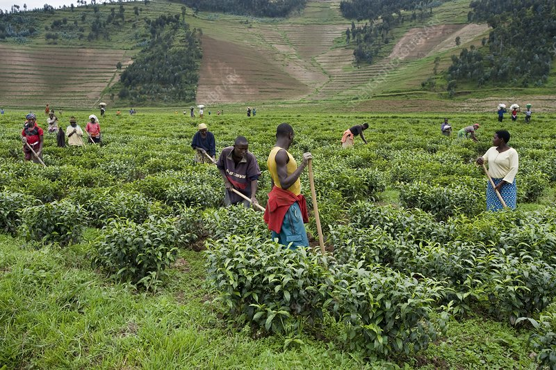 Rwandan tea pickers