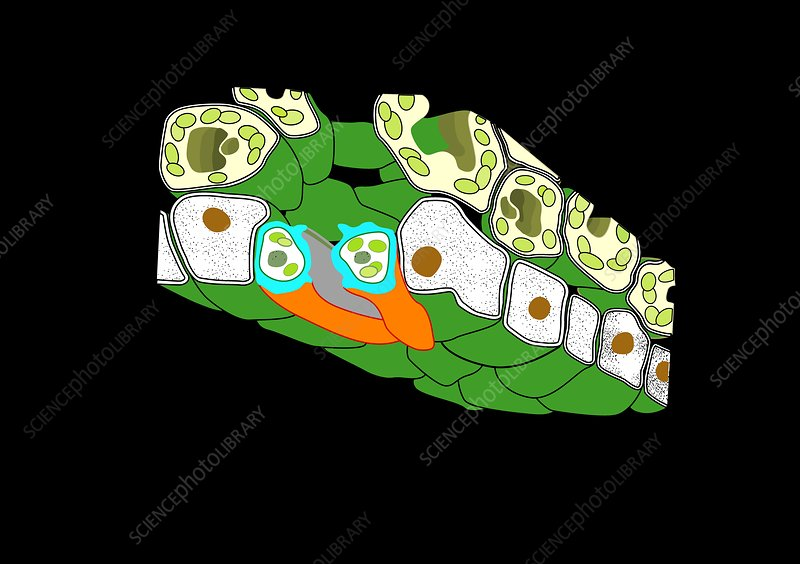 Plant stomata, artwork