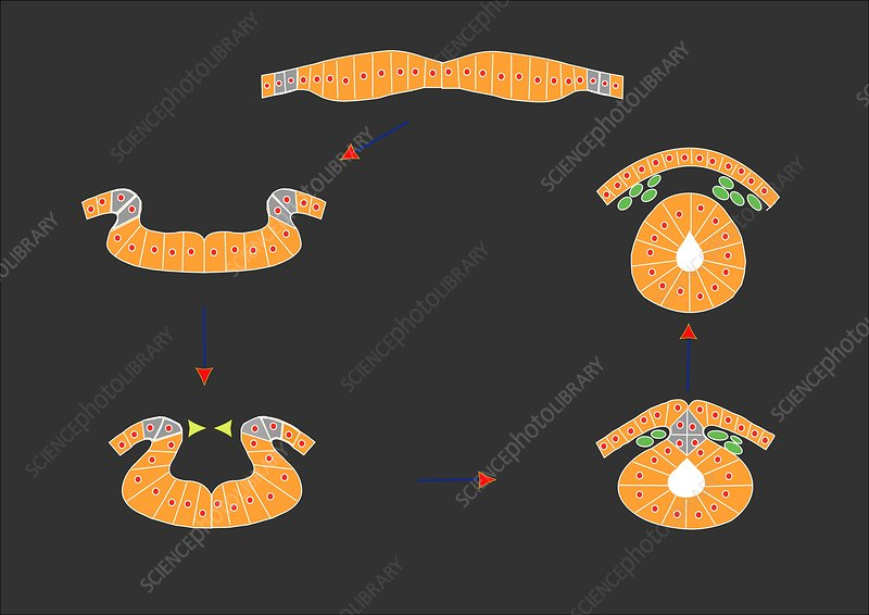Neural tube development, artwork