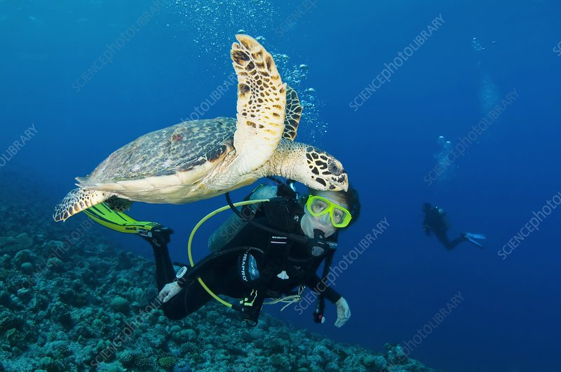Diver and hawksbill turtle