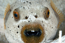 Blackspotted pufferfish