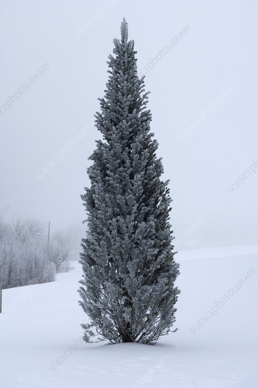 Canadian pine in winter