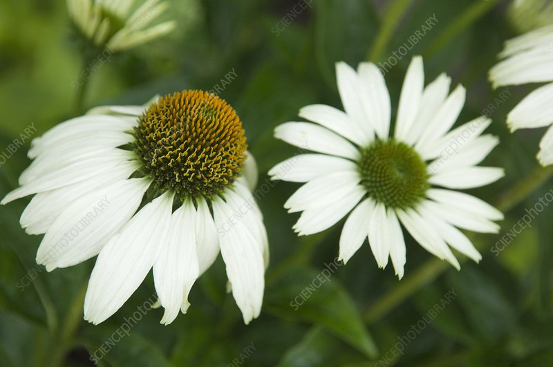 White coneflower cultivar