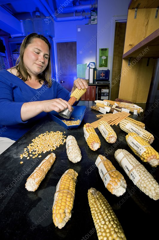 Fungus-resistant corn research