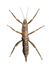 Eurycantha stick insect