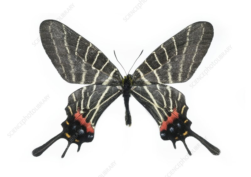 Chinese three-tailed swallowtail