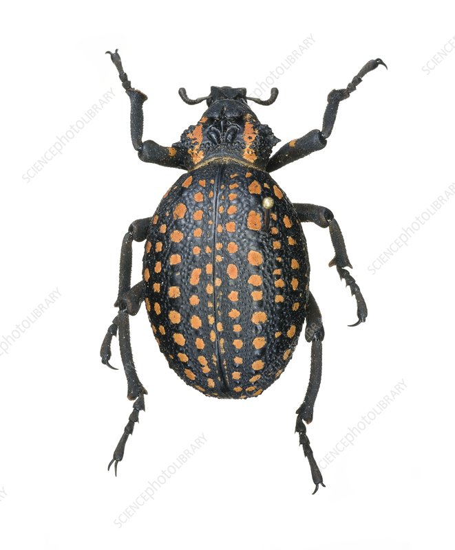 Red-spotted lily weevil