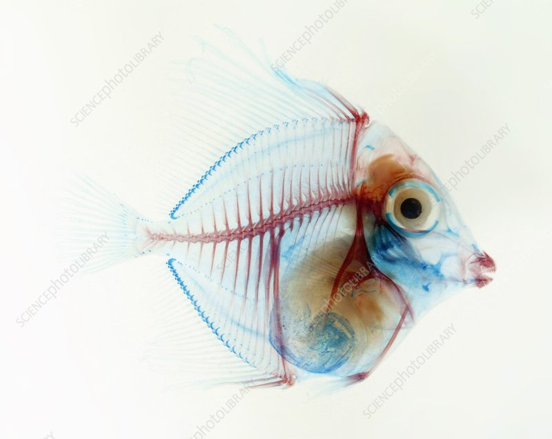 Preserved fish, X-ray