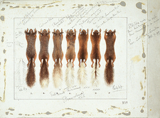 Red squirrel skins, artwork