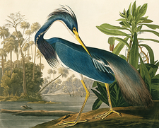 Tricoloured heron, artwork