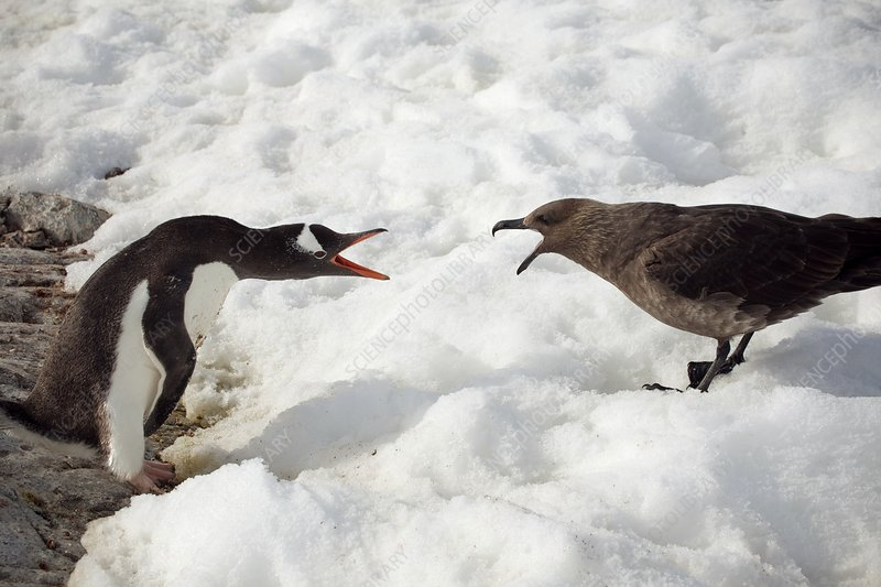 Gentoo penguin and skua