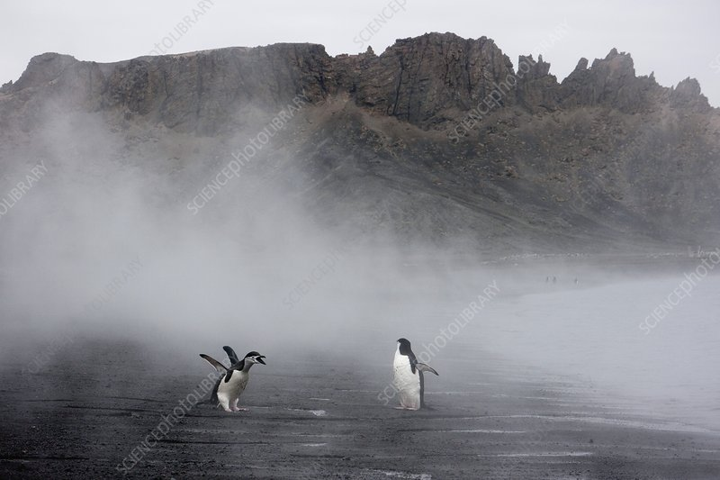 Chinstrap penguins and volcanic steam