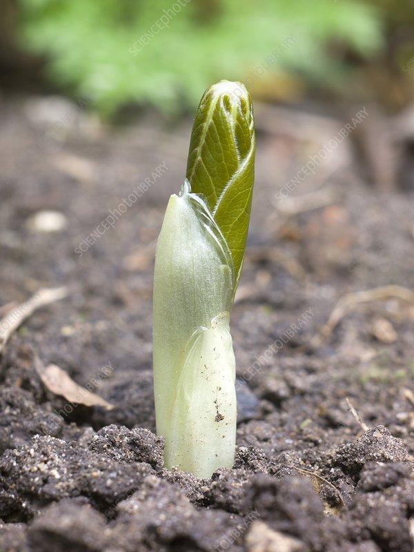 Podophyllum peltatum plant