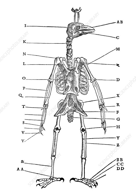 Bird skeleton, historical artwork