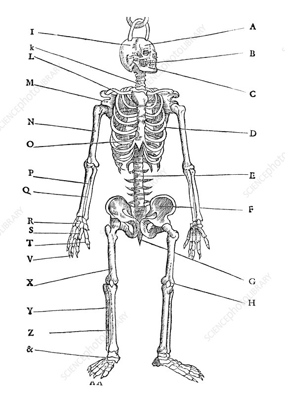 Human skeleton, historical artwork