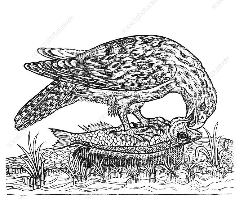 Bird of prey, historical artwork