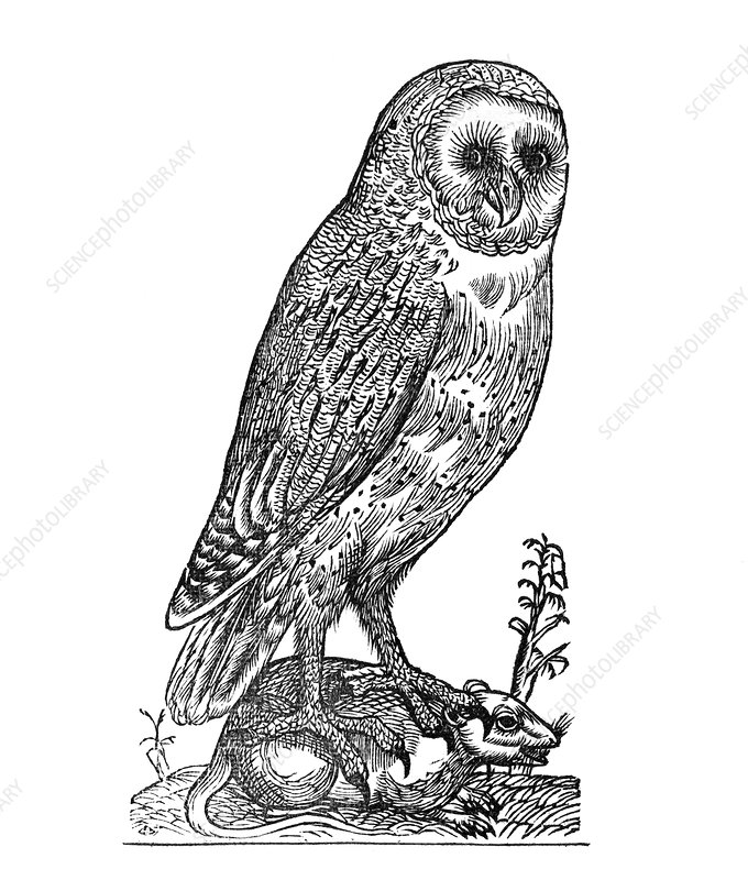 Owl, historical artwork
