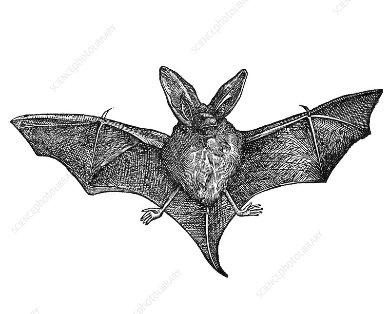 Bat, historical artwork