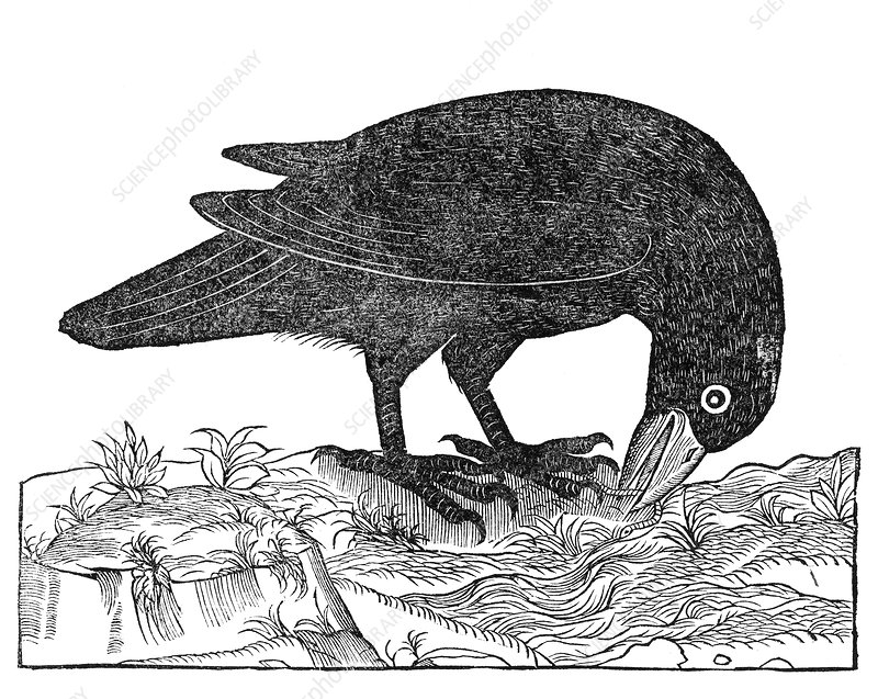 Crow, historical artwork