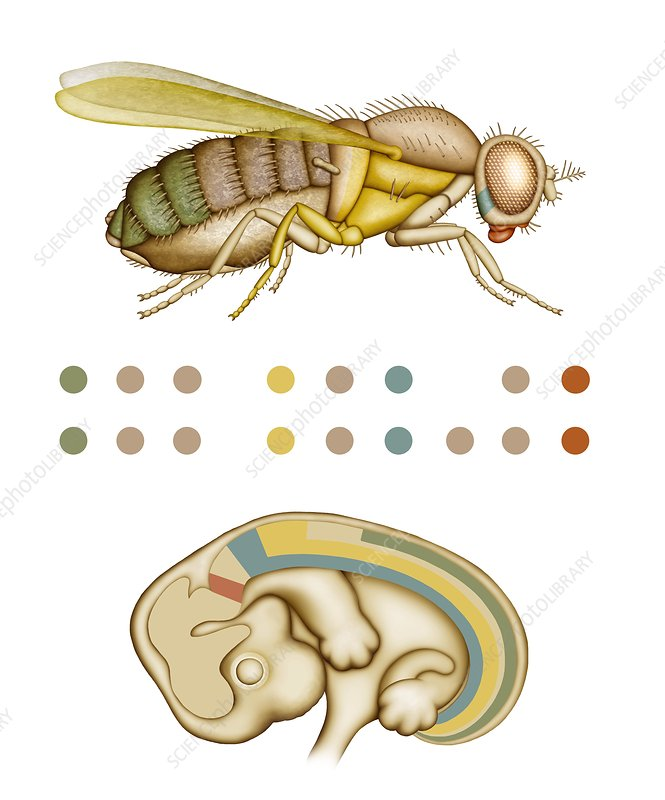 Fruit fly and fetus genetic similarities
