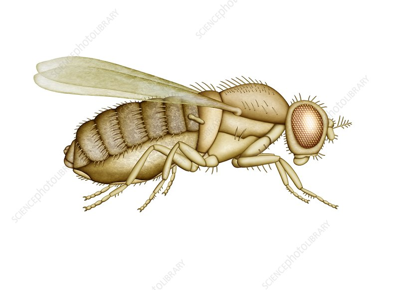 Fruit fly, artwork