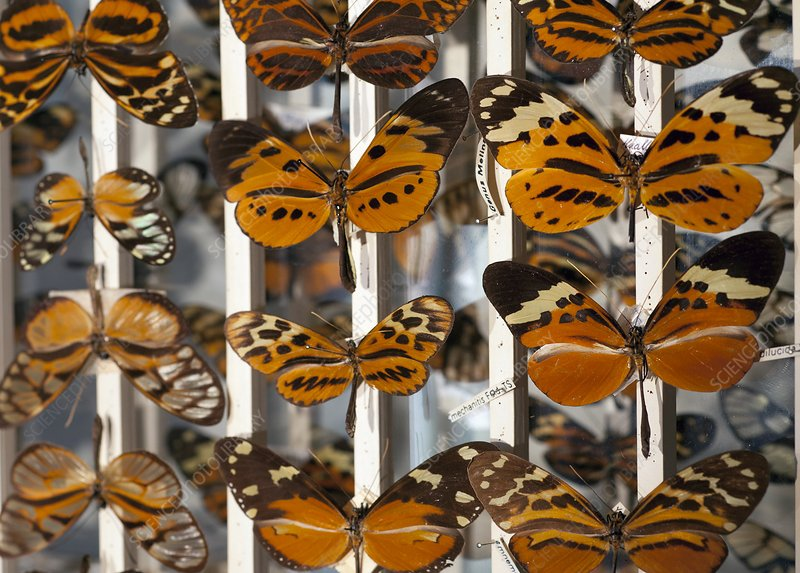 Muller Butterfly Tiger Mimicry Complex 1