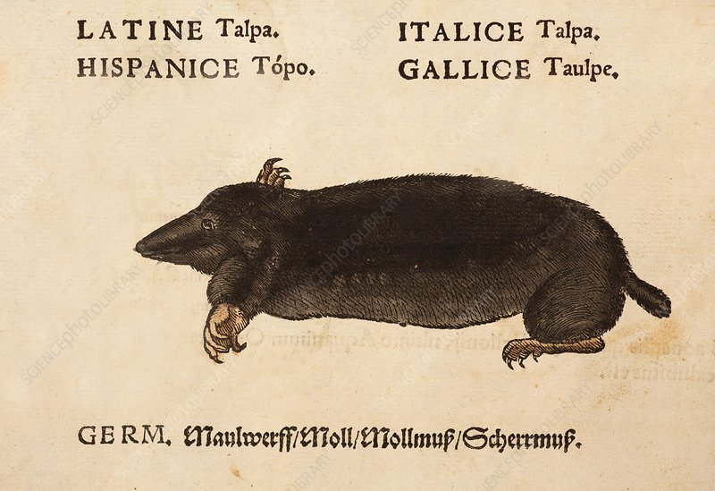 1560 Gesner mole scientific translation
