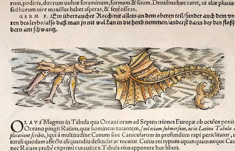 1554 Gesner shark attack on man with ray