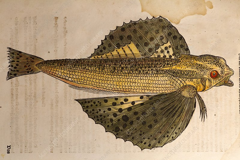 Gesner Flying Fish old illustration