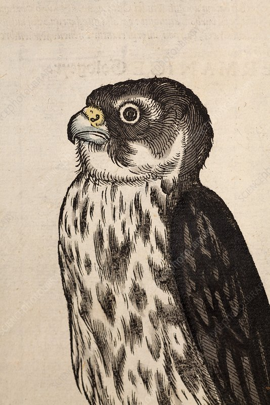1560 Gesner Merlin Falcon bird of Prey