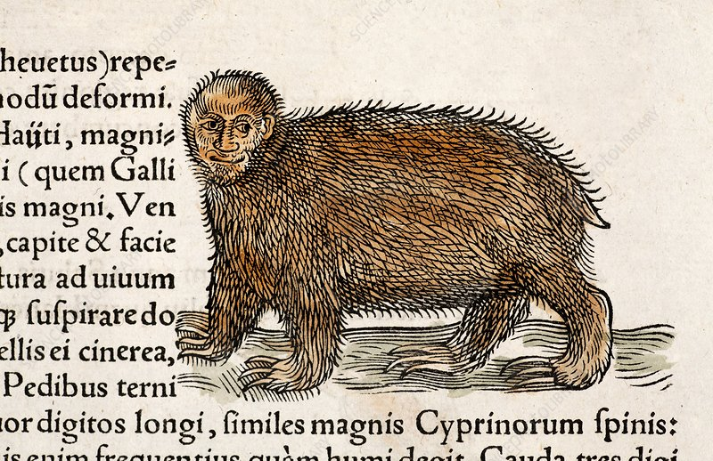 1560 Gesner man faced tree sloth