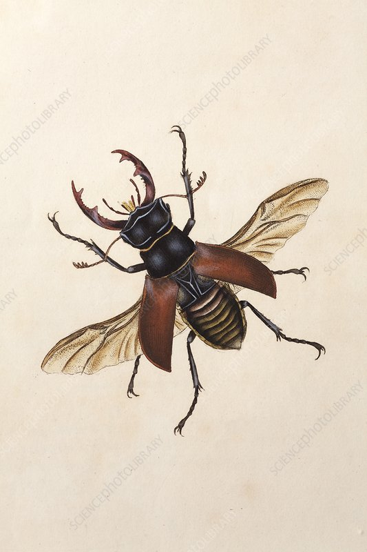 1792 Stag beetle by Edward Donovan