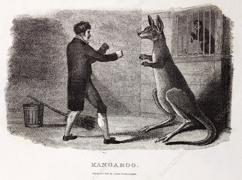 1806 Boxing Australian kangaroo in zoo