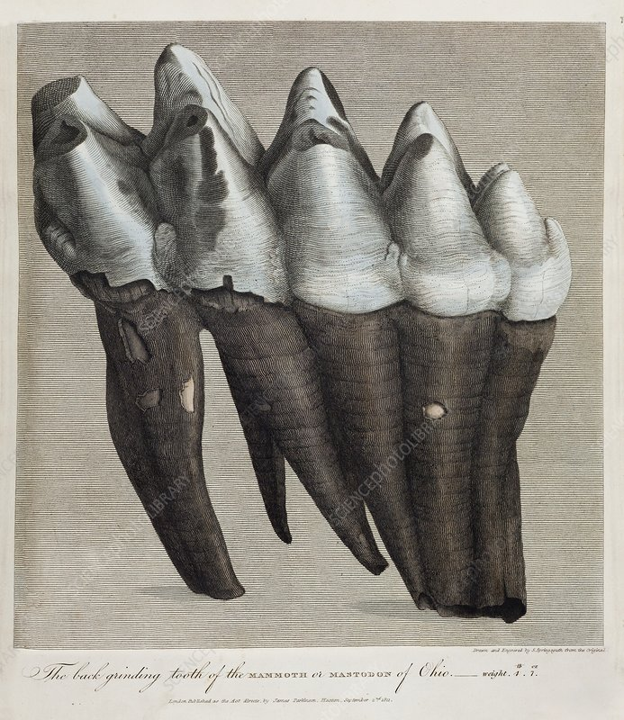1811 Parkinson mammoth mastodon tooth